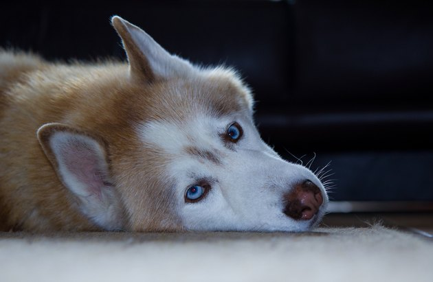 Portrait of a Husky Dog lying down