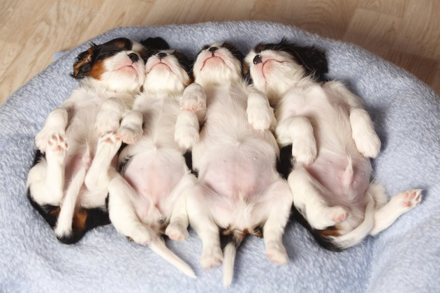 Row of four sleeping Cavalier King Charles Spaniel puppies lying on the back on a blanket