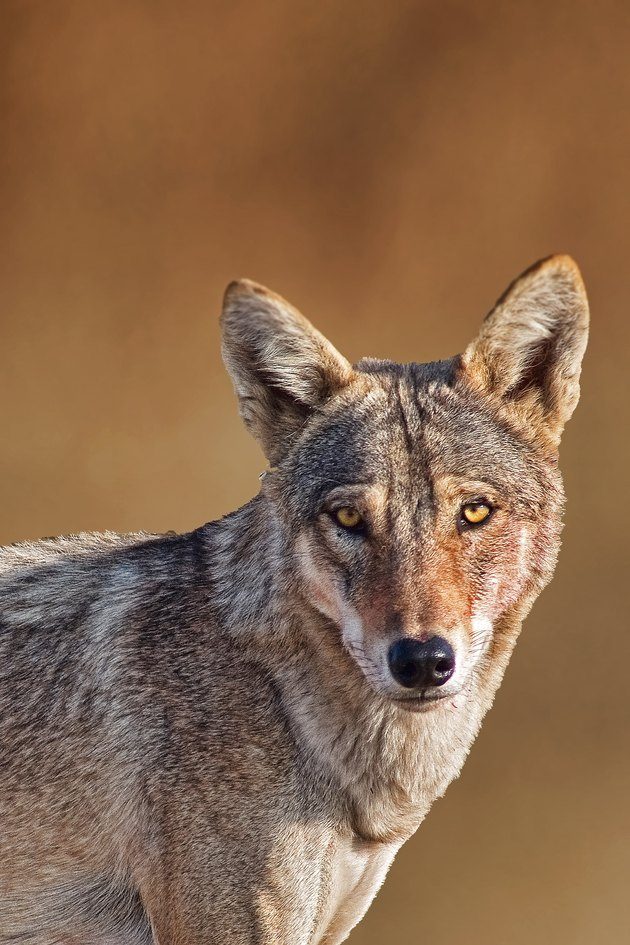 Indian Wolf Potrait