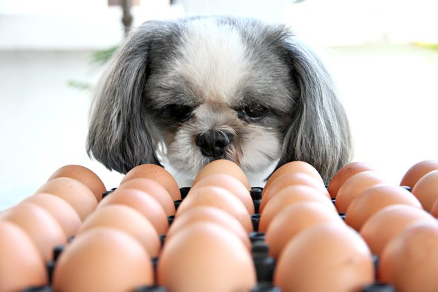 dog looking at tray of eggs