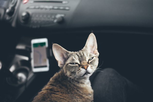 Cat is travelling in a car. Funny face expression