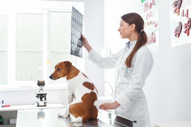 Veterinarian showing dog x-ray .