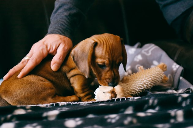 Brown dachshund puppy playing with a soft toy, owner pets him