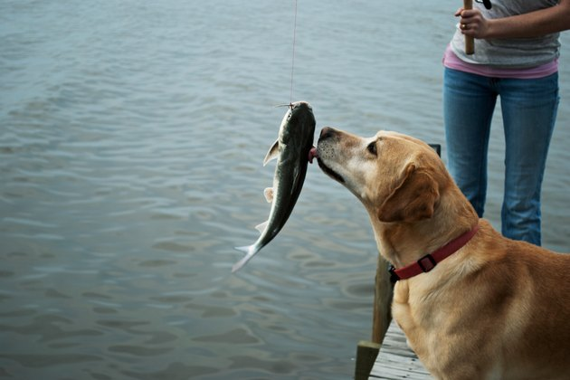 Dog Licking A Caught Fish By A Lake