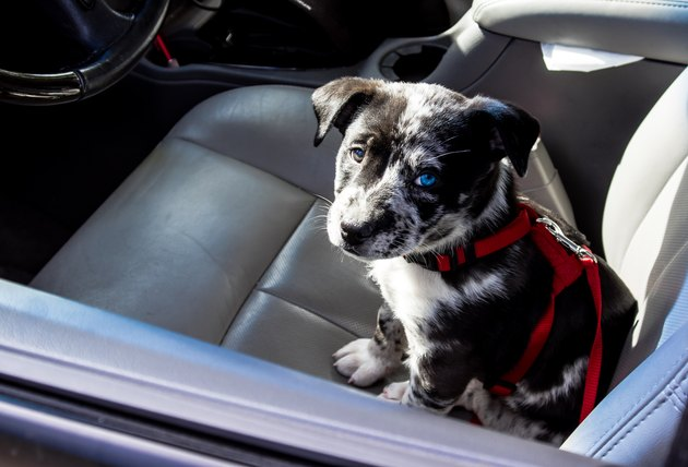 High Angle View Of Puppy Sitting In Car