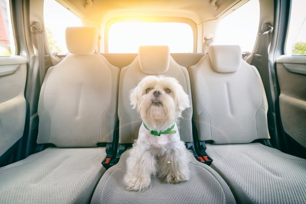 Dog in car sitting alone