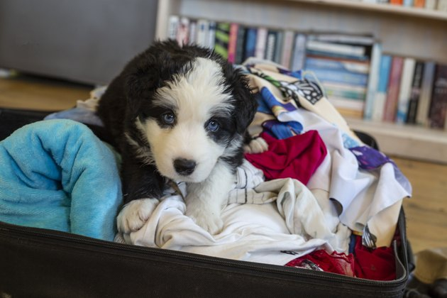 Puppy sitting in a packed suitcase