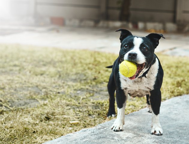 Happily excited Staffordshire bull terrier with ball in it mouth