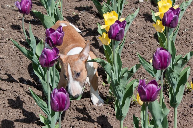Cute miniature bull terrier is playing on the field with tulips. Pet animals.