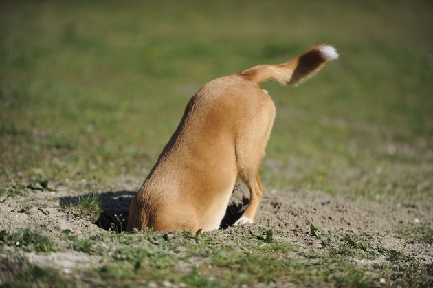 Dog is digging a hole.