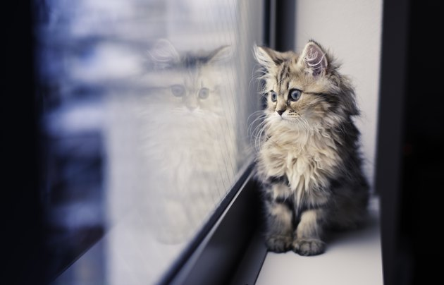 Persian kitten and reflection by window