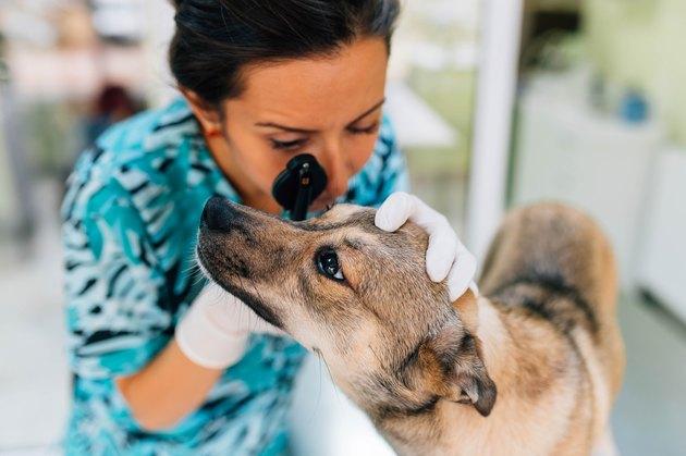 veterinarian checking dog's eyes