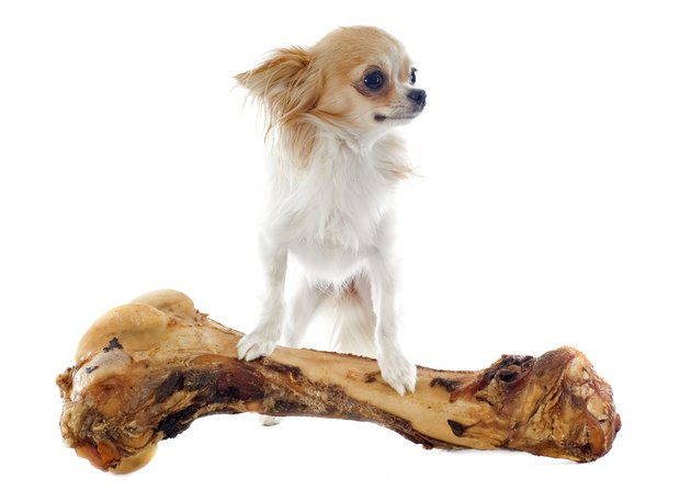 Chihuahua with oversized bone on a white background