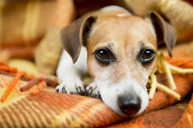 Relaxed beautiful Dog Jack Russell terrier