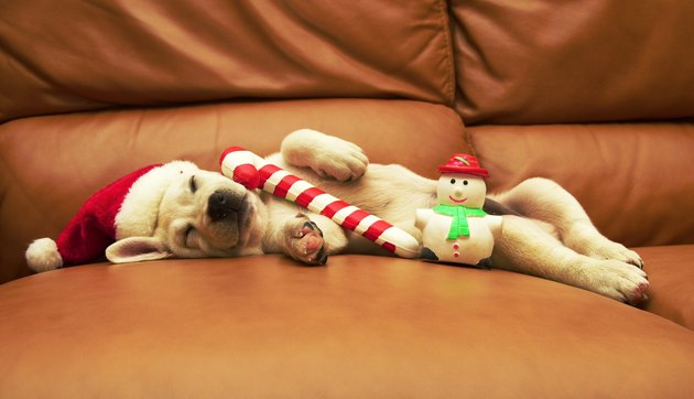 Puppy sleeps on sofa with christmas toys