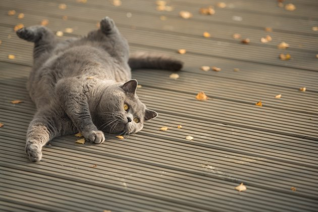 British Short Hair cat lying on a wooden deck with yellow leaves