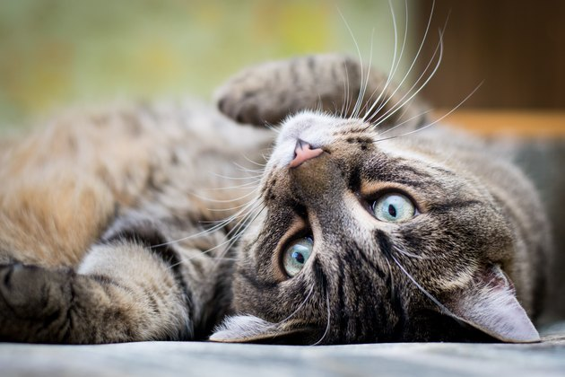 Tabby cat relaxing