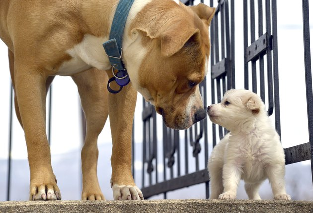 poodle puppy`s first meeting with senior amstaff