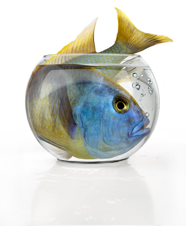Tropical big fish in a small bowl
