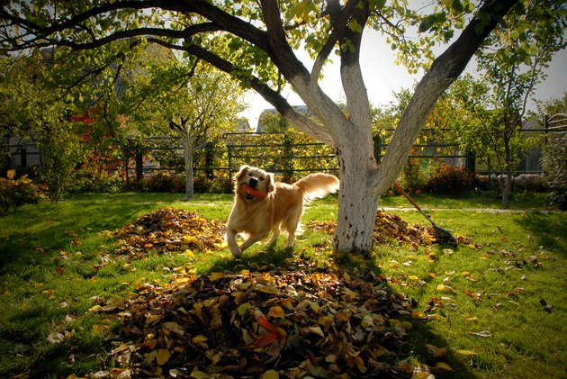 A happy dog running through leaves with a toy in it's mouth