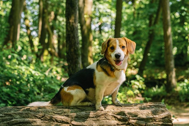 Beautiful Beagle dog sitting on a tree trunk