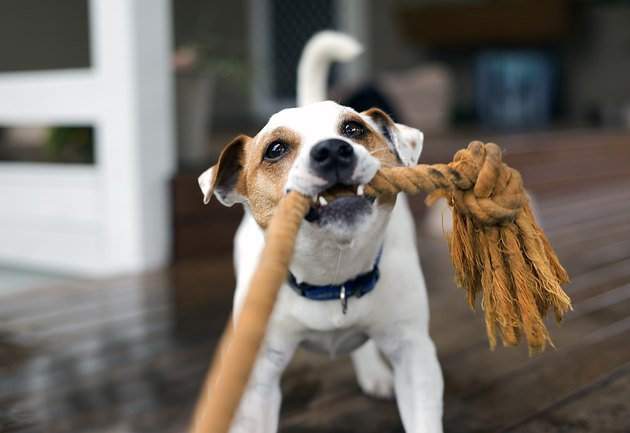 Fox Terrier tugging the rope playing