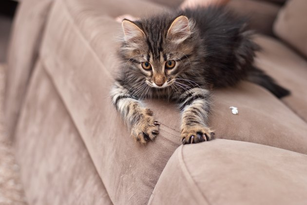 Little one-month striped kitten in playing shows claws on the sofa. Sharp clutches of little baby cat close-up picture