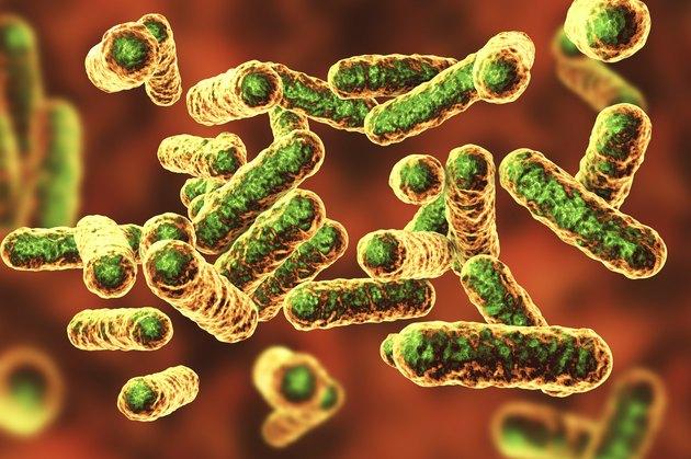 Bartonella quintana bacteria, illustration
