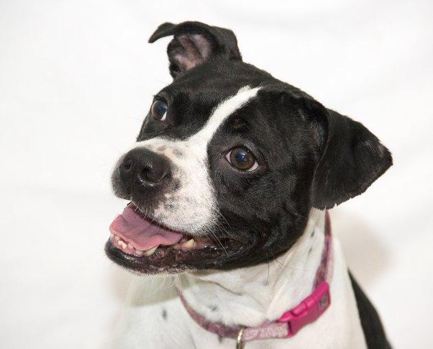 Smiling dog portrait