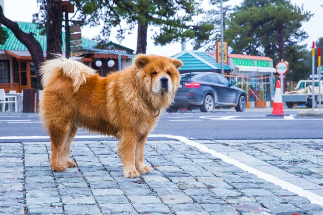 On The Street Chow Chow Dog And Buildings Travel Photodec