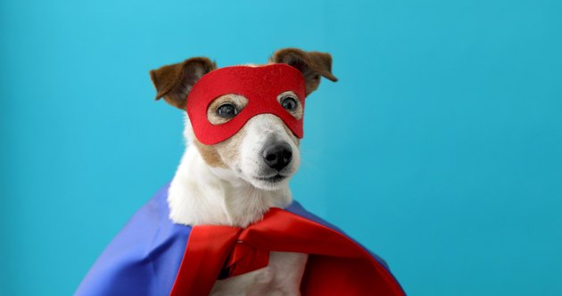 Dog jack russell super hero costume