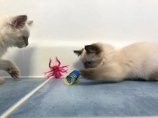 Two Ragdoll Kittens Playing with Toys