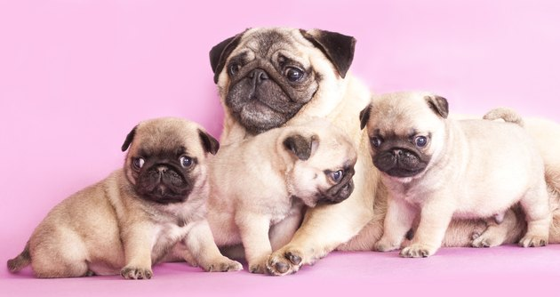 Puppies and mom of thoroughbred dog breed pug
