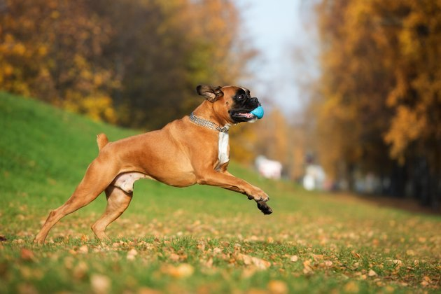 german boxer dog playing outdoors with a ball