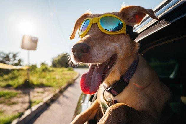 Dog enjoying a car ride