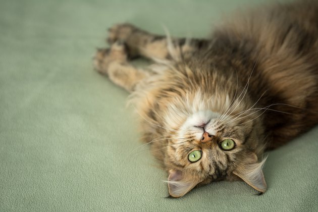 Sweet, upside-down Maine Coon cat looks curiously at camera
