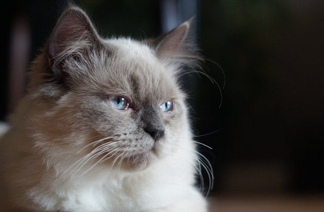 Himalayan/Ragdoll Cat looking towards the window - head shot