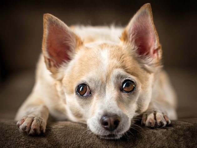 Chihuahua with head down