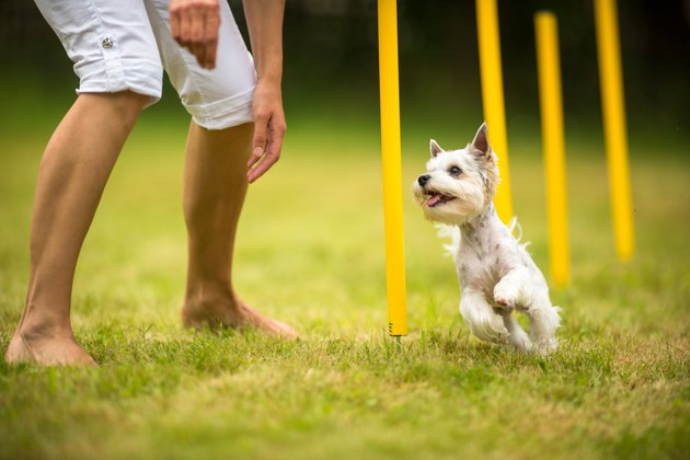 Small white dog doing an agility drill with their owner