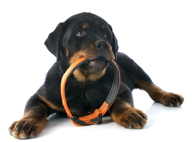 Black and tan Rottweiler puppy holding collar in its mouth