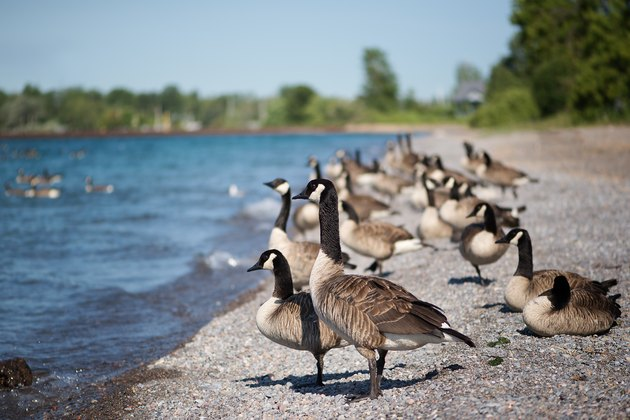 Geese Standing on the Beach
