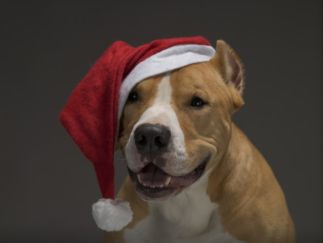 Christmas Staffordshire Terrier in Santa Claus red Santa hat