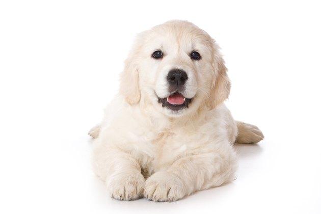 """Golden retriever puppy in a """"sploot"""""""