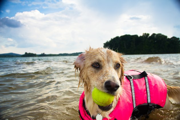 Dog playing with tennis ball in lake wearing life jacket