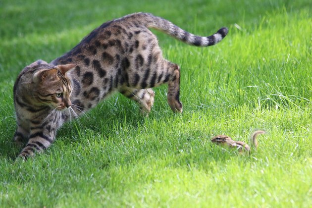 Bengal Cat Playing With Chipmunk