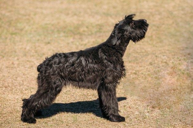 Giant Schnauzer Or Riesenschnauzer Dog Outdoor