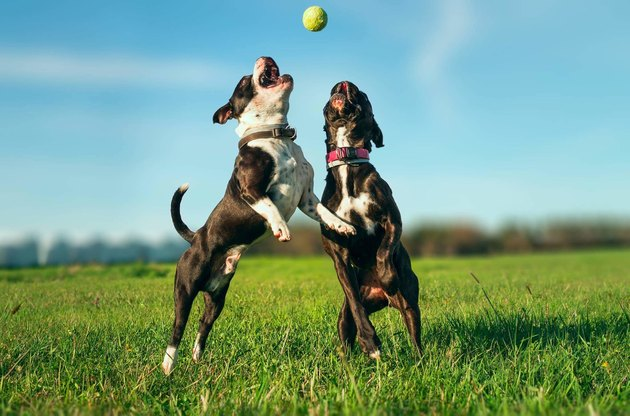 Two Dogs Playing With Ball On Grass