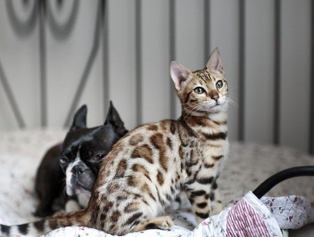 Young Bengal Cat kitten with Boston Terrier
