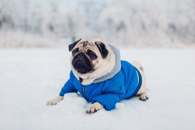 Pug dog lying on snow in park wearing blue coat