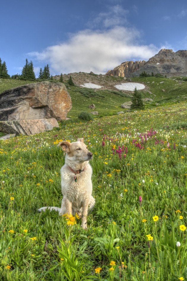 Panorama View of Dog in Mountain Wildflowers